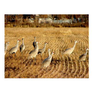 Sandhilll Cranes Postcard
