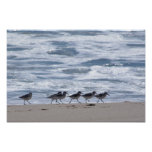 Sandpipers on Beach Poster