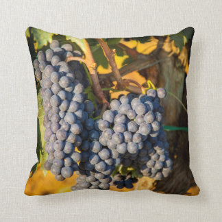 Sangiovese grapes in a vineyard cushion