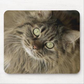 Santa Fe, New Mexico, USA. Maine coon cat. (PR) Mouse Mat
