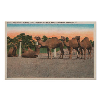 Sarasota, Florida - Camels at Ringling Bros Poster