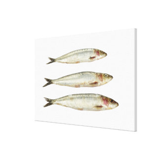 Sardines (Pilchards) 2 Canvas Print