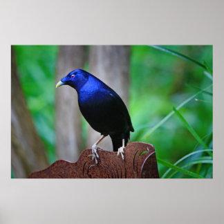 Satin bowerbird poster