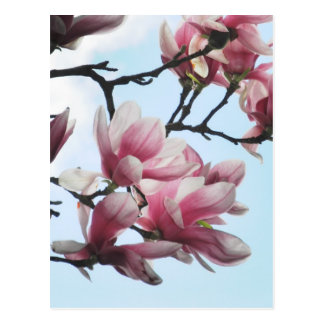 Saucer Magnolia Tulip Tree Flowers Photo Postcard