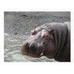 Saucy Hippo! Postcard