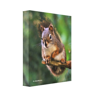 Saucy Red Squirrel in the Fir Canvas Print