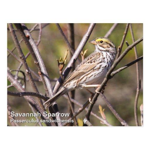 Savannah Sparrow Post Cards