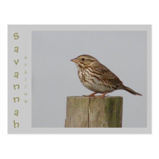 Savannah Sparrow Postcards