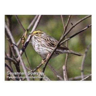 Savannah Sparrow Postcard