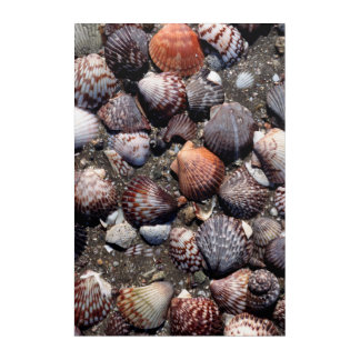 Scalloped Colorful Seashells On A Black Sand Acrylic Print
