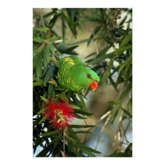 Scaly Breasted Lorikeet Poster