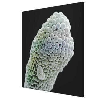 Scanning electron microscope image of stigma (Pent Canvas Print