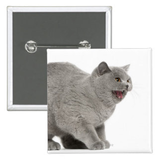 Scared British Shorthair hissing (8 months old) 15 Cm Square Badge