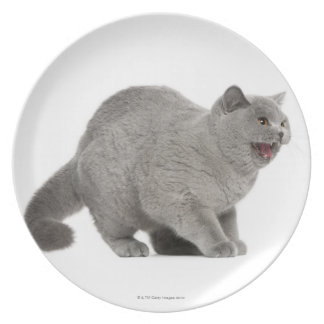 Scared British Shorthair hissing (8 months old) Plate