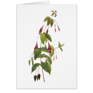 scarlet fuchsia(Fuchsia coccinea) by Redouté Card