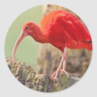 Scarlet Ibis Bird Sticker