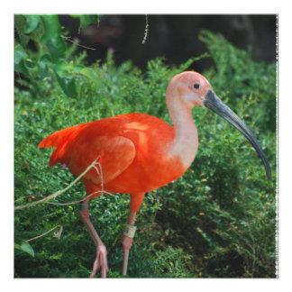 Scarlet Ibis Invitations
