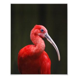 Scarlet Ibis Photo Print