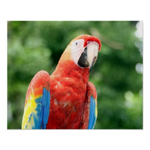 scarlet macaw friend poster