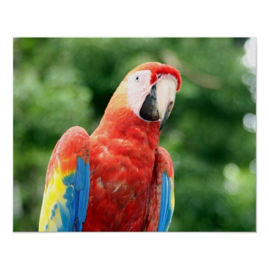 scarlet macaw friend poster