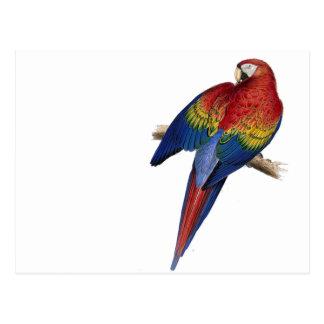 Scarlet Macaw Illustration Postcard