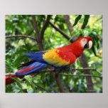 Scarlet macaw on tree limb poster