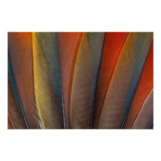 Scarlet Macaw Wing Detail Poster
