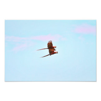 Scarlet Mackaw Couple Flying Photo Print