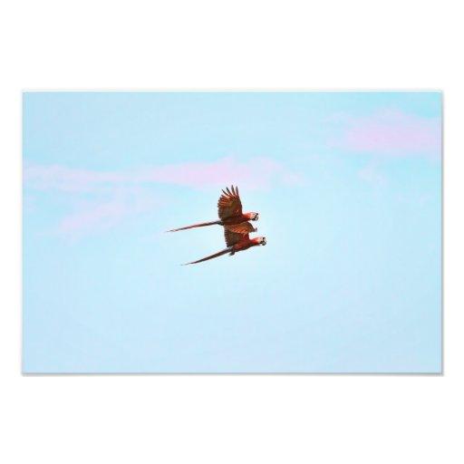 Scarlet Mackaw Couple Flying Photo
