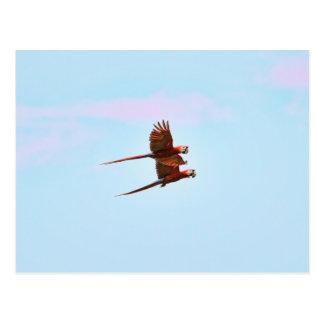 Scarlet Mackaw Couple Flying Postcard