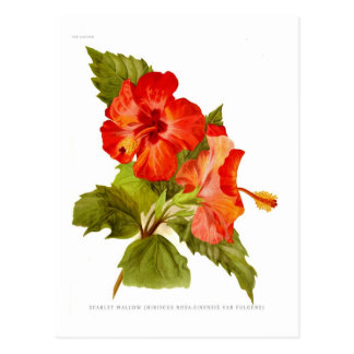 Scarlet Mallow (Hibiscus) Postcard