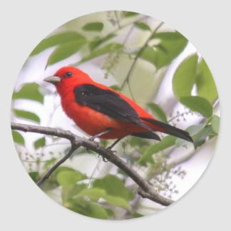 Scarlet Tanager Classic Round Sticker