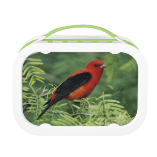 Scarlet Tanager, Piranga olivacea,male on Lunch Box