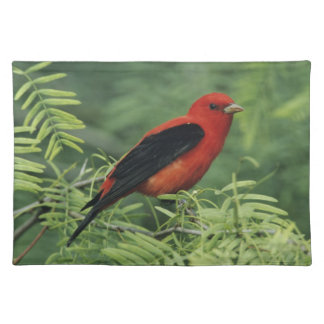 Scarlet Tanager, Piranga olivacea,male on Placemat