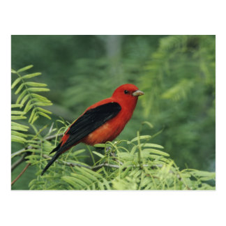 Scarlet Tanager Piranga olivacea male on Postcard