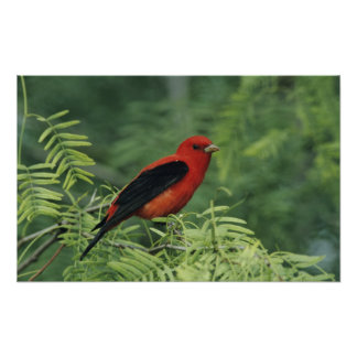 Scarlet Tanager, Piranga olivacea,male on Poster