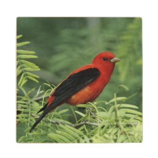 Scarlet Tanager, Piranga olivacea,male on Wood Coaster
