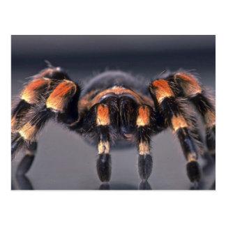 Scary Tarantula spider Postcard