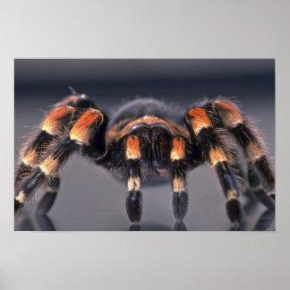 Scary Tarantula spider Posters