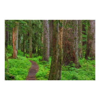 Scenic of old growth forest poster