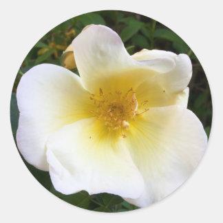 Scented Cream Rose Classic Round Sticker