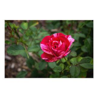 Scentimental Rose Photo Art