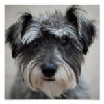 Schnauzer Dog Poster Print