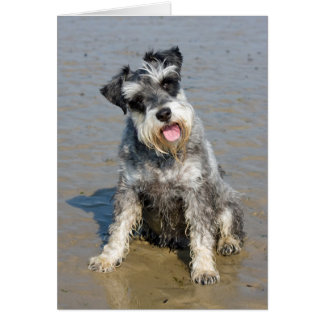 Schnauzer miniature dog cute photo at the beach card