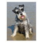 Schnauzer miniature dog cute photo at the beach postcard