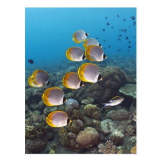 School of angelfish postcard