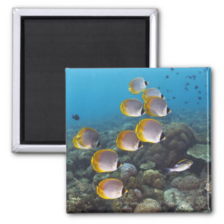 School of angelfish square magnet