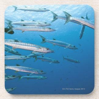 School of blackfin barracuda (Sphyraena qenie) Coasters