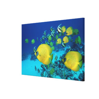 School of Butterfly Fish Swimming on the Seabed Canvas Print