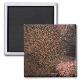 School of Fish 2 Square Magnet